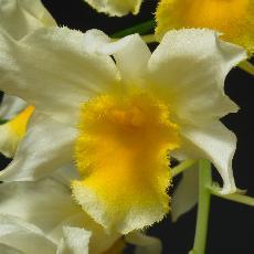 Dendrobium  'Thy-Griffin'