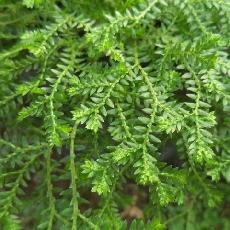 Selaginella sulcata