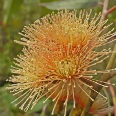Eucalyptus torwood