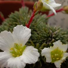 Saxifraga burseriana  'Major'