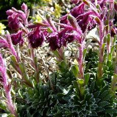 Saxifraga federici-augusti subsp. grisebachii  'Wisley'