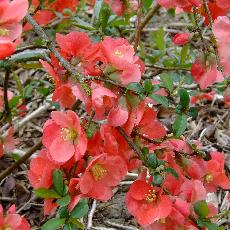 Chaenomeles superba x  'Stanford Red'