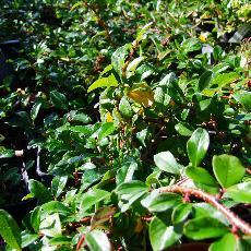 Cotoneaster x suecicus  'Sürth'