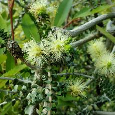 Melaleuca densa