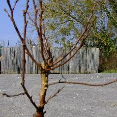 Betula pendula  'Magical Globe'®'