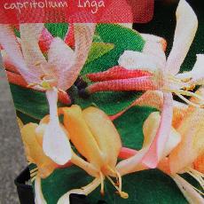 Lonicera caprifolium  'Inga'