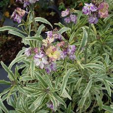 Erysimum linifolium Variegatum