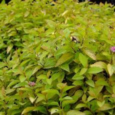 Spiraea japonica  'Sparkling Carpet'