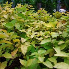 Spiraea japonica  'Tracy'