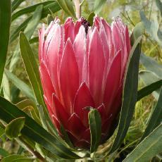 Protea hybride  'Liebencherry'