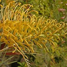 Grevillea Cooroora Cascade (G. 'Honey Gem' x G. formosa)