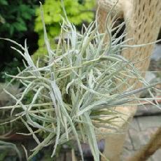 Tillandsia bandensis x crocata