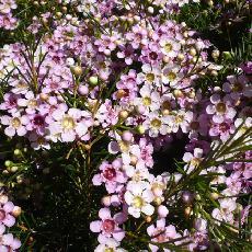 Chamelaucium uncinatum ripple