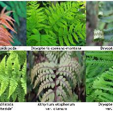 Lot Fougères Caduques : Dryopteris Et Athyrium