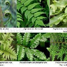 Lot Persistantes Et Caduques - Dryopteris , Asplenium Et Cyrtomium