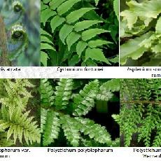 Lot Persistantes Et Caduques - Dryopteris Et Cyrtomium