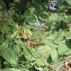 Salvia forskahlii