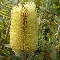 Banksia praemorsa  'yellow'