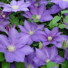 Clematis  'H.F Young'