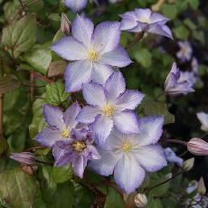 Clematis  'Lucky Charm® ZO 09067'