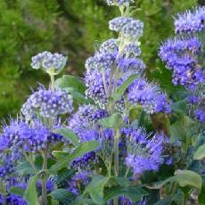 Caryopteris x clandonensis  'Grand Bleu ® Inoveri'