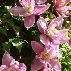 Clematis macropetala  'Markham's Pink'