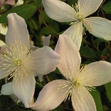 Clematis montana  'New Dawn'