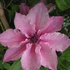 Clematis  'Pink Fantasy'