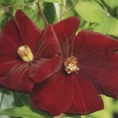 Clematis  'Rouge Cardinal'