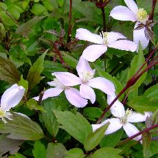Clematis montana  'Fragrant Pink'