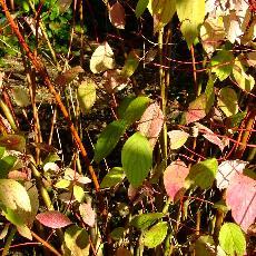 Cornus alba  'Van Eck'