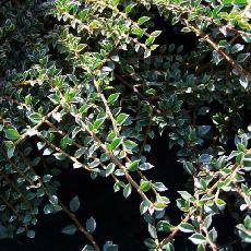 Cotoneaster atropurpureus  'Variegatus'