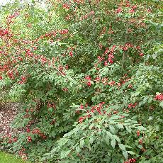 Cotoneaster x watereri  'Cornubia'