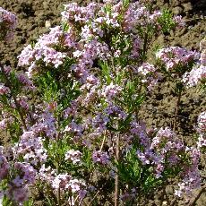 Daphne x burkwoodii  'Astrid'