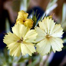 Dianthus knappii