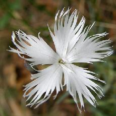 Dianthus lumnitzeri