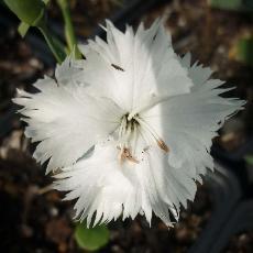 Dianthus plumarius  'Albus Plenus'