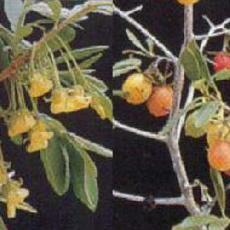 Diospyros lycioides