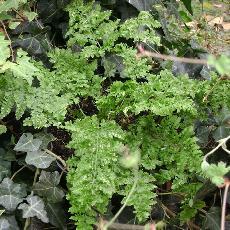 Dryopteris dilatata  'Crispa Whiteside'