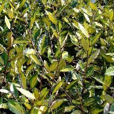 Elaeagnus pungens  'Maculata Aurea'