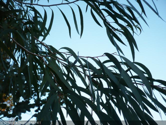Eucalyptus nitida