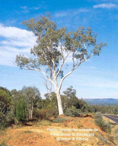 Eucalyptus racemosa subsp. rossii