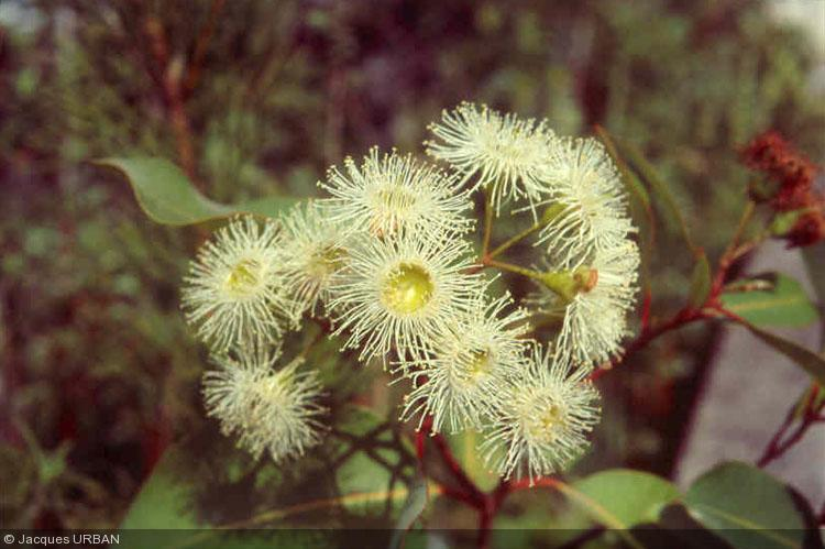Corymbia calophyla