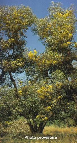 Eucalyptus cornuta