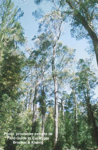 Eucalyptus johnstonii