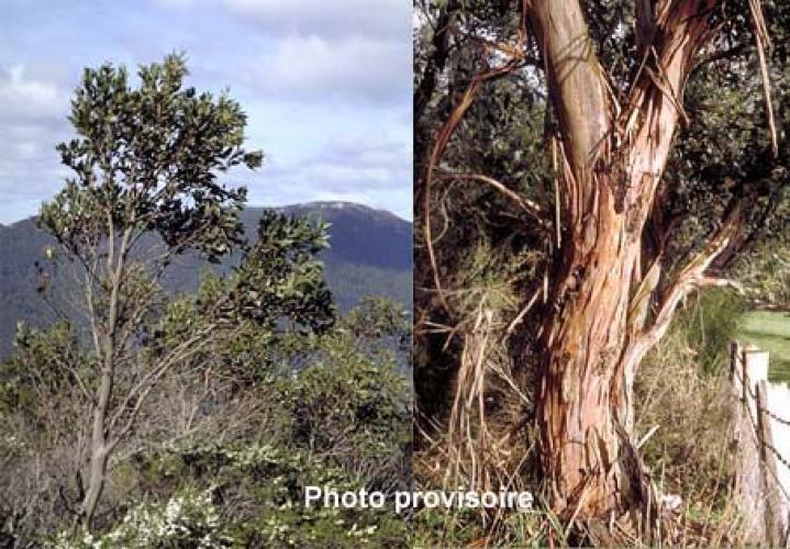 Eucalyptus kitsoniana