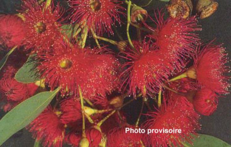 Eucalyptus leucoxylon subsp. megalocarpa