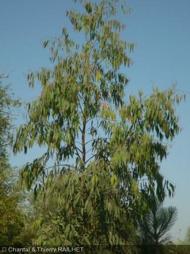 Eucalyptus macarthurii