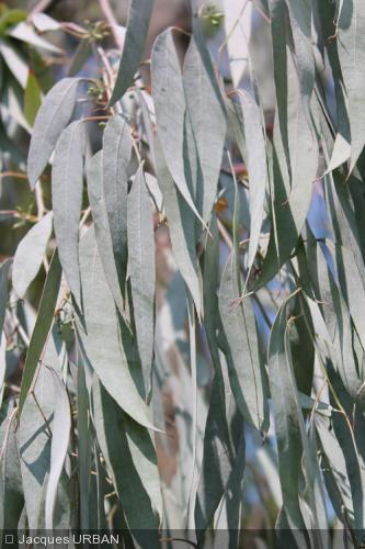 Eucalyptus nova-anglica