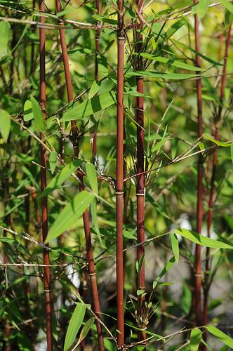 fargesia sp 39 jiuzhaigou 1 39 bambou non tra ant. Black Bedroom Furniture Sets. Home Design Ideas
